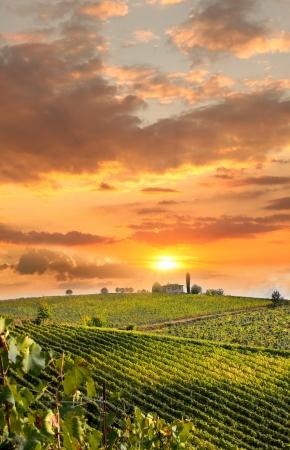 Vineyard: Chianti viña del paisaje de la Toscana, Italia