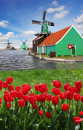 zaandam: Traditional Dutch windmills with red tulips close the Amsterdam, Holland Stock Photo