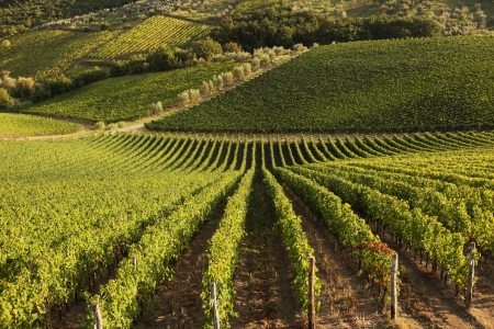 lawn area: Famous Tuscany vineyards near the Florence in Italy