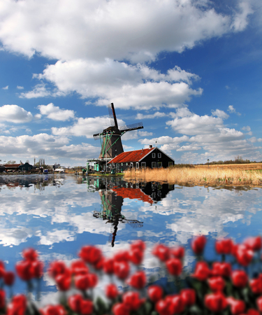 holland landscape: Traditional Dutch windmills with red tulips in  Zaanse Schans, Amsterdam area, Holland