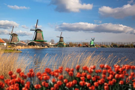 blue tulip: Traditional Dutch windmills with red tulips in  Zaanse Schans, Amsterdam area, Holland