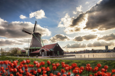 dutch culture: Traditional Dutch windmills with red tulips in  Zaanse Schans, Amsterdam area, Holland