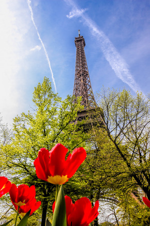 red tulips: Eiffel Tower with red tulips in Paris, France