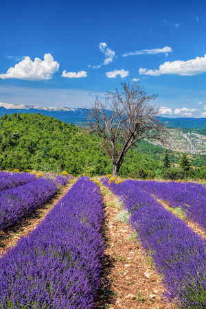 lavendin: Lavender field in Provence, near the Sault town in France Stock Photo