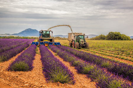 plateau: Lavender harvesting in Provence, France