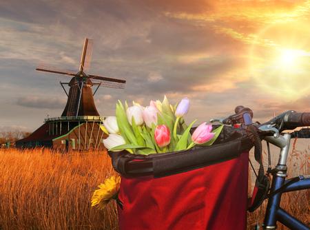 molino de agua: Basket of colorful tulips against Dutch windmills in Zaanse Schans, Amsterdam, Holland