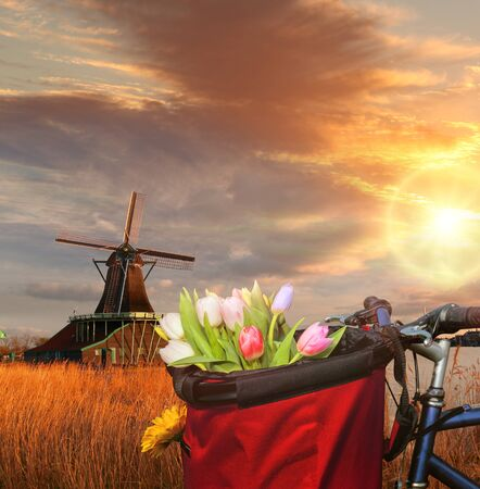 Basket of colorful tulips against Dutch windmills in Zaanse Schans, Amsterdam, Holland