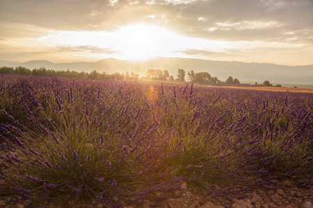 plateau of flowers: Lavender field against colorful sunset in Provence, France Stock Photo