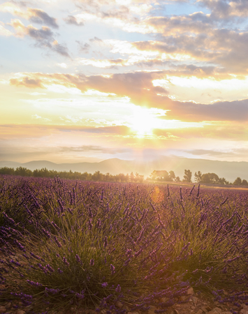 Lavender field against colorful sunset in Provence, France Stock Photo