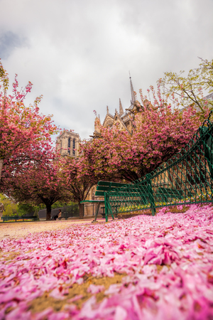 Paris, Notre Dame cathedral with blossomed tree in France Stock Photo