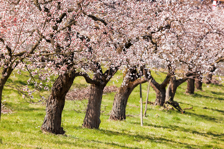 Apricot trees during spring time in Wachau, Austria