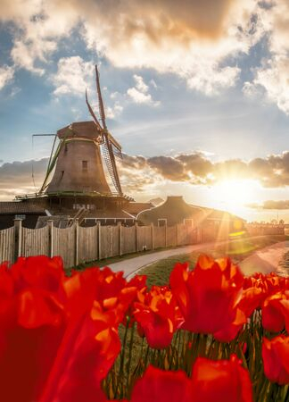 Traditional Dutch windmills with tulips against sunset in Zaanse Schans, Amsterdam area, Holland