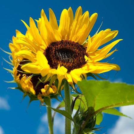 butterflies nectar: sunflower