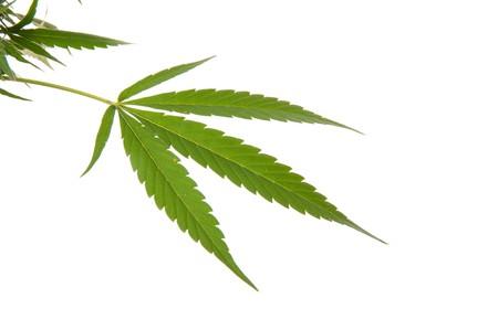 Cannabis foglia - pianta di Mariuana e foglia - canapa