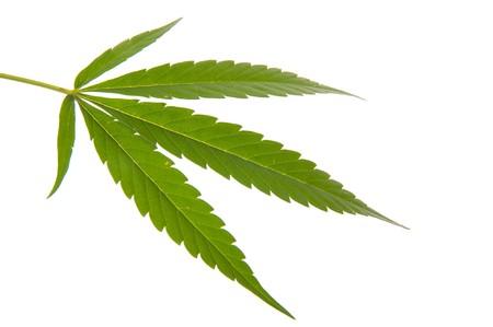 Cannabis leaf - Mariuana plant and leaf - hemp photo
