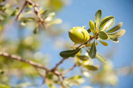 tree nuts: Argan nut