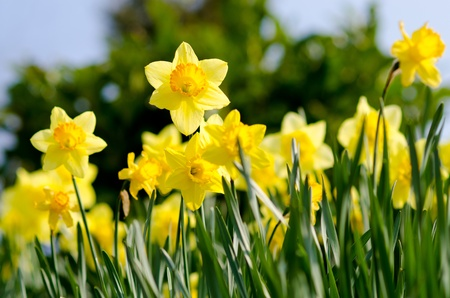 yellow Daffodils  in the garden Stock Photo