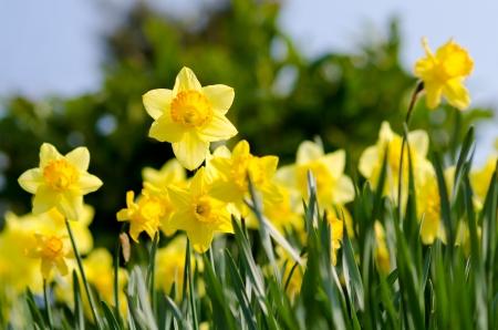 Yellow Daffodils im Garten Lizenzfreie Bilder