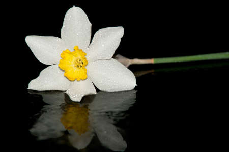 Studio shot of daffodil with reflection on black background photo
