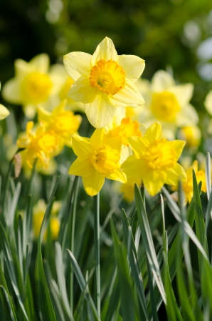 bluer: yellow Daffodils  in the garden Stock Photo