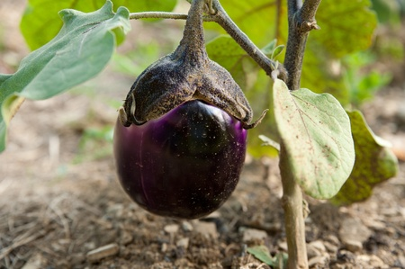 young eggplant fruit growing in the garden Stock Photo - 10515219