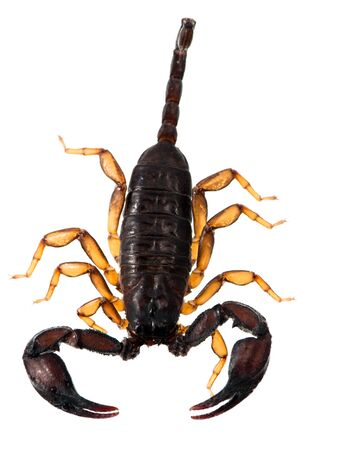 Studio isolated scorpio photo