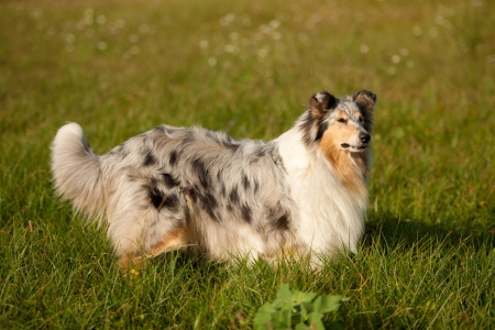 sable: sable collie  rough
