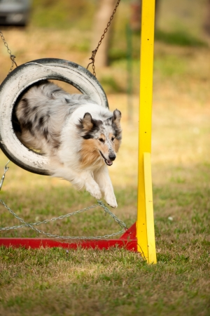jumping border collie on agility course Stock Photo