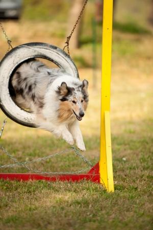 jumping border collie on agility course Archivio Fotografico