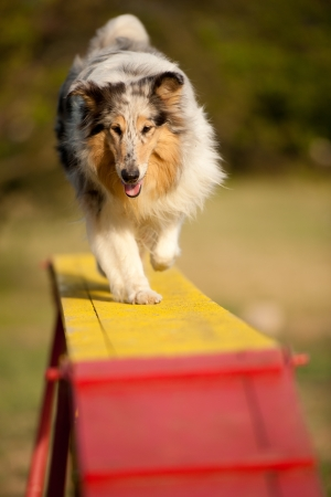 perro corriendo: saltando border collie en curso de la agilidad