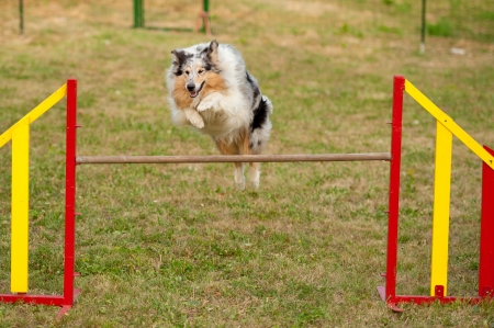 jumping border collie on agility course Stock Photo - 15380944