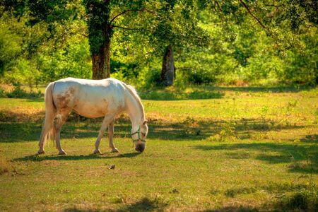 lipizzaner: Lipica horse on pasture Stock Photo