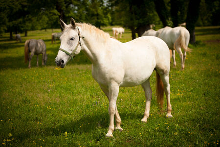 Young white Lipizaner horse on pasture in spring photo