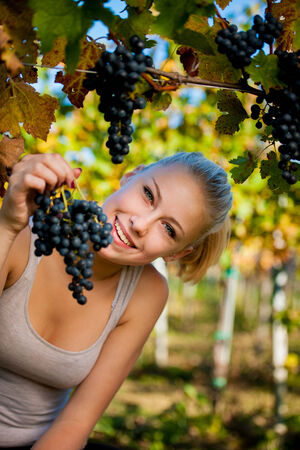Beautiful young blonde woamn harvesting grapes outdoors  in vineyard photo