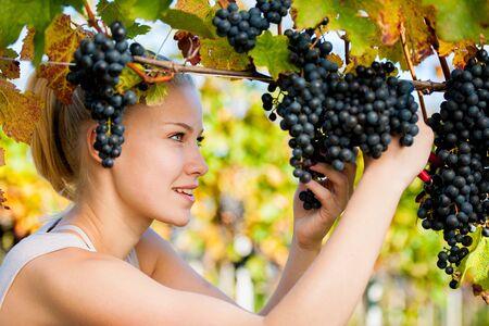 grapes: Hermosa joven rubia de la cosecha de uvas Woamn al aire libre en el vi�edo