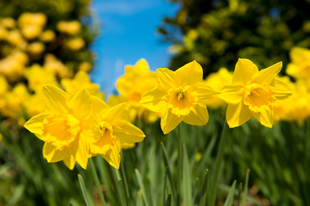 yellow Daffodils in the garden photo