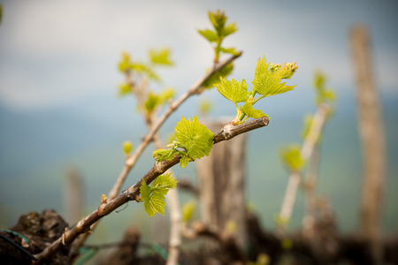 Vineyard in Slovenia in early spring 스톡 콘텐츠