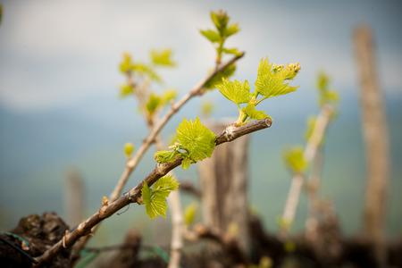 viñedo: Viñedo en Eslovenia a principios de primavera Foto de archivo