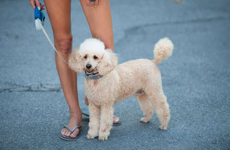 Beautiful young woman on a walk with cute poodle dog Stock Photo