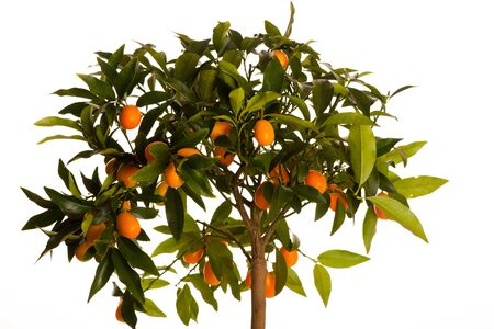 the fruitful: Fresh, ripe kumquats fruit on growing plant with green leafs.