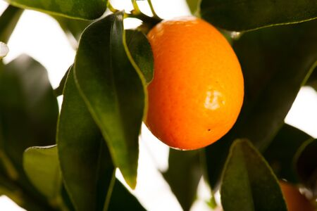 cumquat: Fresh, ripe kumquats fruit on growing plant with green leafs.