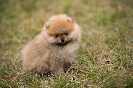 cute Little young pomeranian cob playing on grass outdoor .
