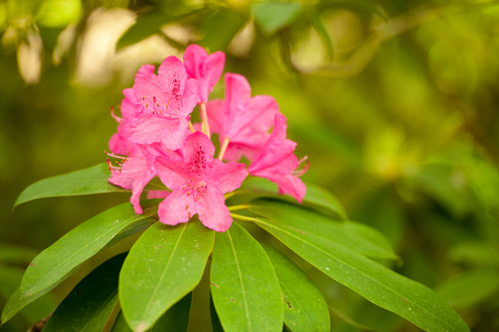 pink flower azalea rhododendron group bright cerise flowers background crops (Rho­dodendron schlippenbachii) azalea spider in centre Stock Photo