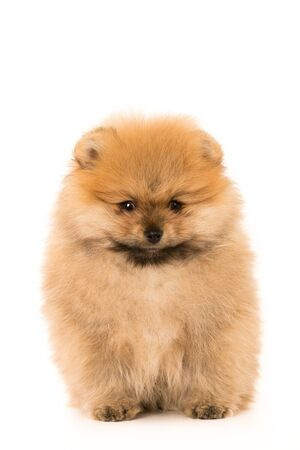 Cute Little young Pomeranian cob isolated over white background Stock Photo