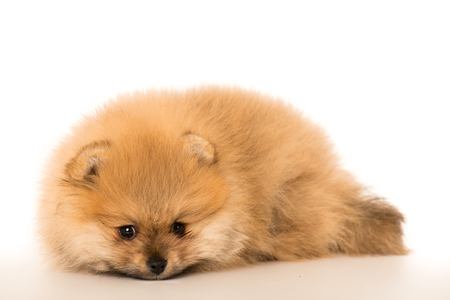 cute Little young pomeranian cob isolated over white background