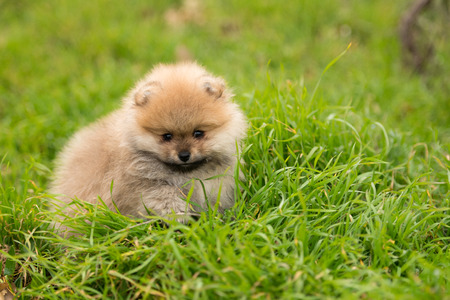 Cute little young pomeranian cob playing on grass outdoor.
