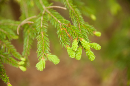Fresh pine buds for syrup. Pine bud syrup is very healthy and you can treat aliments such as: asthma, chronic bronchitis, pharyngitis, laryngitis, coughs, colds, tonsillitis, flus, and allergies. Stock Photo