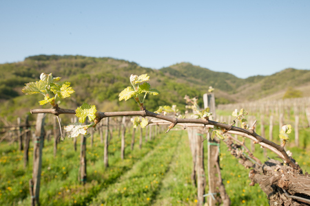 Branch of vine  with first green leaves in vineyard in early spring