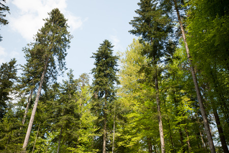 green Trees in forest in early spring . Stock Photo
