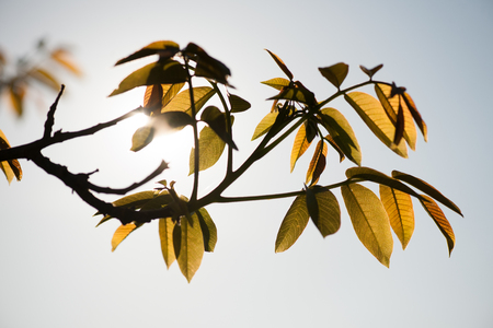 Wallnut leaves on early spring over blue sky  . Stock Photo